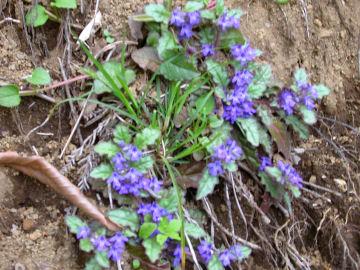 キランソウ(金瘡小草,紫藍草)