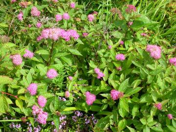 シモツケ(下野)の花