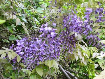 フジの花(藤の花)
