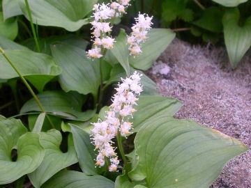 マイヅルソウの花(舞鶴草の花)