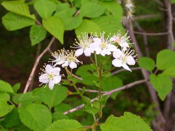 ミヤマザクラ(深山桜)