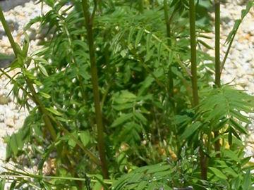 エゾハナシノブの葉(蝦夷花忍)