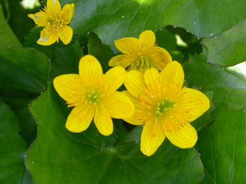 リュウキンカの花(立金花)