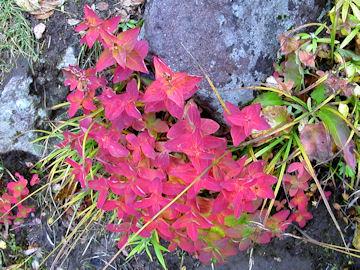 オトギリソウの紅葉(弟切草)