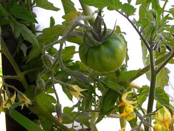 ミニトマトの花と実