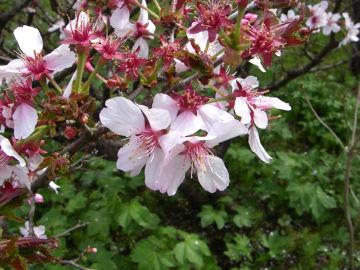 チシマザクラ(千島桜)