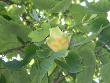 ユリノキの花(百合の木)