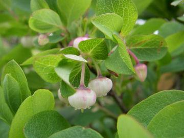 クロマメノキ(黒豆の木)