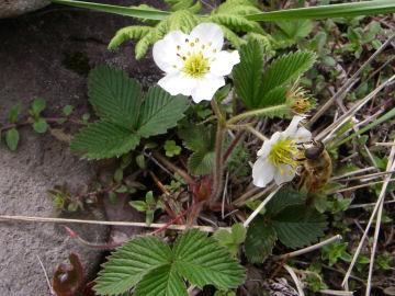 シロバナノヘビイチゴ(白花蛇苺)