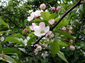ズミの花とつぼみ(酸実)