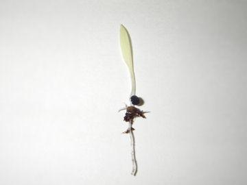 オリヅルランの芽(折鶴蘭の芽)