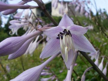 オオバギボウシの花(大葉擬宝珠の花)