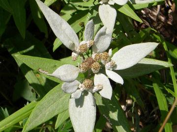 ウスユキソウの花(薄雪草の花)