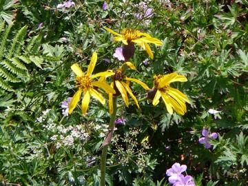 マルバダケブキの花(丸葉岳蕗の花)