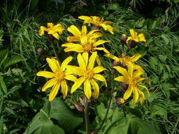 マルバダケブキの花と葉(丸葉岳蕗の花と葉)
