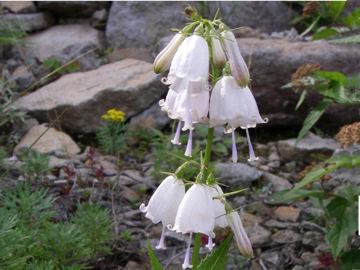 ハクサンシャジンの花(白山沙参の花)