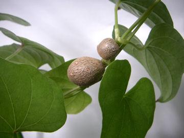 ヤマノイモのムカゴ(山の芋の零余子)