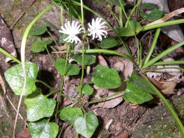 キッコウハグマの花と葉(亀甲白熊,亀甲羽熊?)