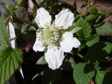 クサイチゴの花(草苺の花)
