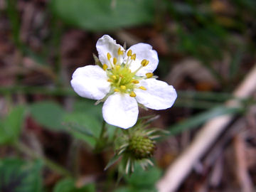 シロバナノヘビイチゴ(白花の蛇苺)