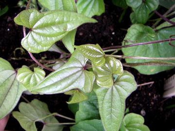 ヤマノイモ(山の芋)