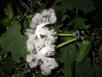 カラスウリの花(烏瓜)
