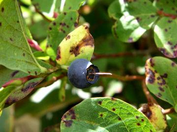スノキ属の植物の実