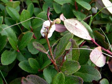 シラタマノキ(白玉の木)
