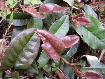 イワナシの葉(岩梨)