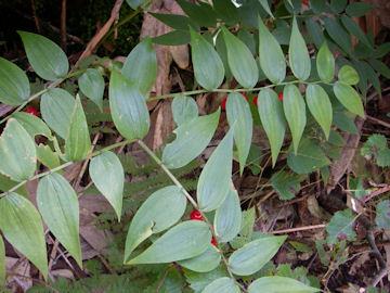 タケシマランの葉(竹縞蘭)