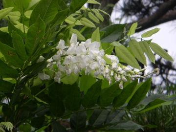 白いフジの花(藤)