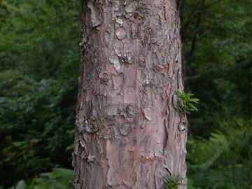 イチイの樹皮(一位)
