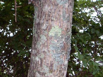 エンコウカエデ(猿猴楓)の樹皮