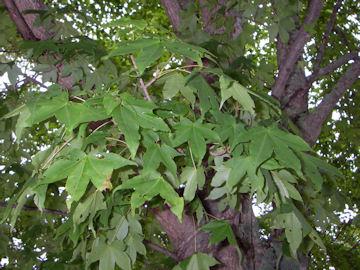 エンコウカエデ(猿猴楓)の葉