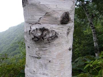 シラカバの樹皮(白樺)