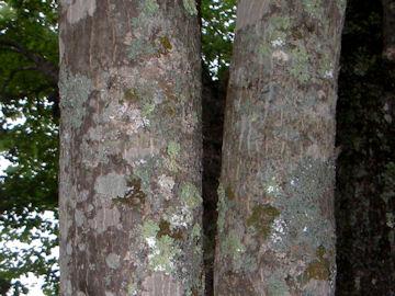 コハウチワカエデの樹皮(小羽団扇楓)