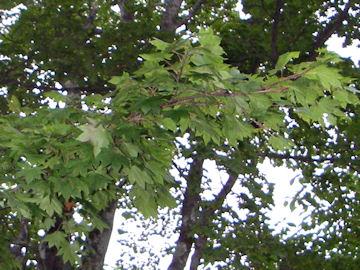 イタヤメイゲツの葉(板屋名月)