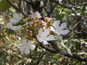 オオカメノキの花(大亀の木)
