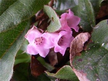 イワナシの花のアップ