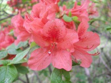 ヤマツツジの花(山躑躅)
