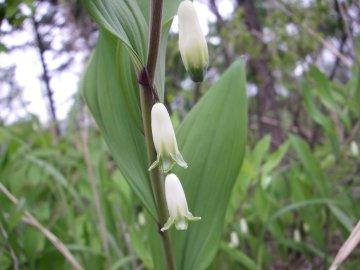 アマドコロの花(甘野老の花)