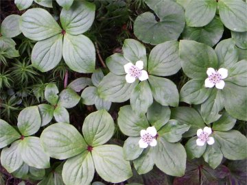 ゴゼンタチバナの葉と花