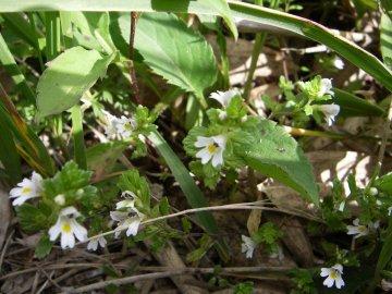 ミヤマコゴメグサ(深山小米草)