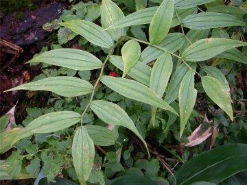 タケシマラン(竹縞蘭)の実