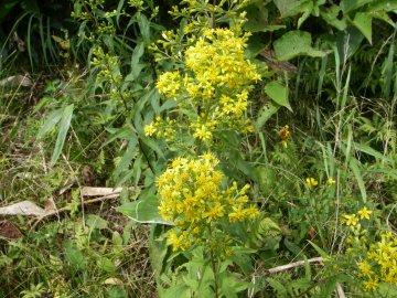 アキノキリンソウの花