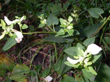 エゾシオガマ(蝦夷塩竃の花)