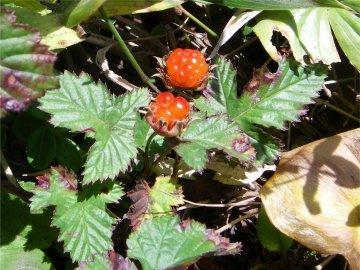 ミヤマニガイチゴ(深山苦苺)