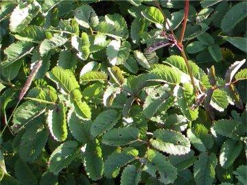 シロバナトウウチソウ(白花唐打草)の葉っぱ