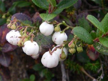 シラタマノキ(白玉の木)のアップ