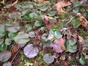イワカガミの葉(岩鏡)